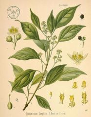 Camphor leaves